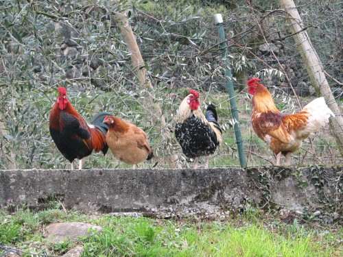 12-crazy-roosters.JPG